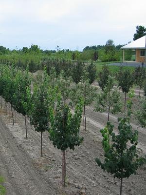 Tree Sales - Manotick Tree Movers Inc
