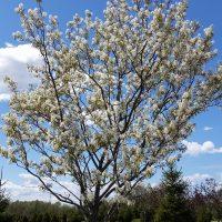 Downey Serviceberry Tree